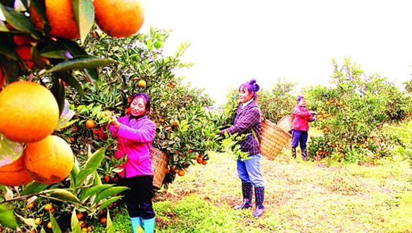 唐家乡 建设沿江都市农业第一乡
